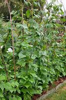 Stangenbohnen (Phaseolus) an Bohnenstangen im Bauerngarten