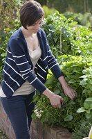 Junge Frau erntet Zitronenmelisse (Melissa officinalis) im Hochbeet