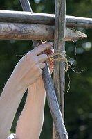 Frau bindet Bohnenstangen zusammen