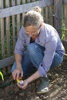 Frau sät Helianthus (Sonnenblumen) am Zaun
