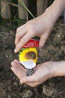 Samen von Helianthus (Sonnenblumen) aus der Tüte in die Hand schütten