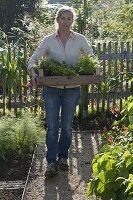 Frau bringt Kiste voller Kräuter, Fenchel (Foeniculum), Feuerbohnen