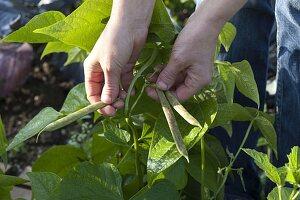 Frau pflückt Buschbohnen (Phaseolus)