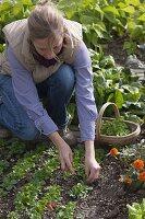 Frau erntet Feldsalat (Valerianella locusta)