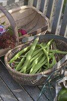 Korb mit frisch geernteten Bohnen (Phaseolus)