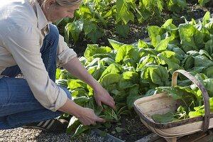 Frau erntet Spinat 'Madator' (Spinacia oleracea) im Gemüsebeet