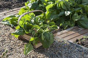 Korb mit frisch geerntetem Spinat 'Madator' (Spinacia oleracea)
