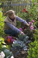 Frau schneidet Dahlie (Dahlien), Korb mit Sommerblumen und Stauden