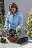 Frau bepflanzt Schale mit Linum perenne 'Nanum Saphir' (Blauer Staudenlein)