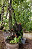 Noun : alte Holzfässer im Schatten als Wasserspiel , bepflanzt mit Sumpfpflanzen