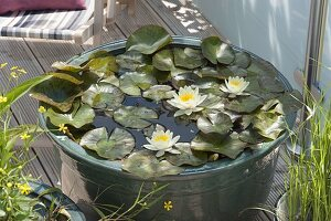Nymphaea 'Marliacea Chromatella' (Seerose)