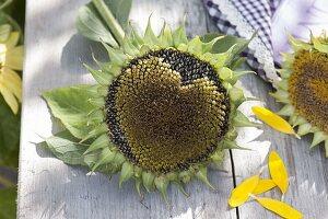 Sonnenblumenherz : verblühte Blüte von Helianthus