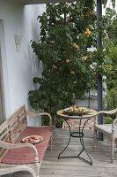 Aprikosenbaum (Prunus armeniaca) an Hauswand