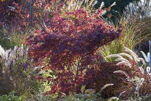 Acer palmatum (Japanischer Fächerahorn)