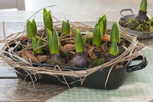 Hyacinthus (Hyazinthen) vor der Blüte in emaillierter Auflaufform