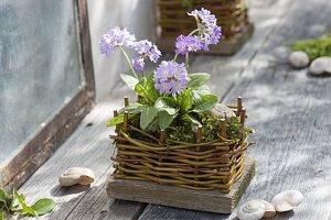 Kleine Primula denticulata (Kugelprimel) in Topf aus selbstgemachtem