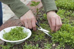 Frau erntet Kresse, Gartenkresse (Lepidium sativum) im Hochbeet
