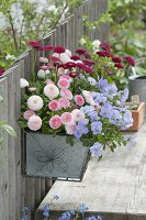 Blechkasten mit Frühlingsblumen am Zaun : Bellis Tasso 'Strawberry & Cream'