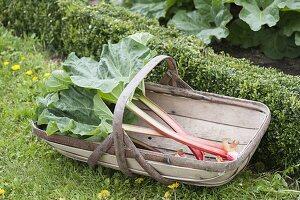 Korb mit frisch geerntetem Rhabarber (Rheum rhabarbarum) im Bauerngarten