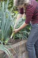 Frau erntet Porree, Lauch (Allium porrum) im Hochbeet
