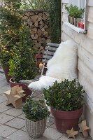 Weihnachtliche Terrasse mit Ilex meservea 'Blue Maid' (Stechpalme