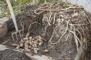 Anbau und Ernte von Kartoffeln in Kartoffelkiste