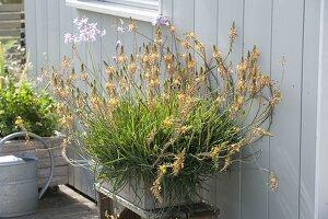 Bulbine frutescens syn. Anthericum frutescens (Brenngeleepflanze)
