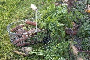 Frisch geerntete Möhren, Karotten (Daucus carota) am Beetrand in Drahtkorb