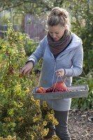 Frau erntet die letzten Fruchtgemuese im Biogarten