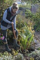 Frau gräbt Gladiolen zum einwintern aus