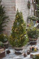 Picea glauca 'Conica' (Zuckerhutfichte) mit Lichterkette, Osmanthus