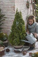 Frau giesst Picea glauca 'Conica' (Zuckerhutfichte)
