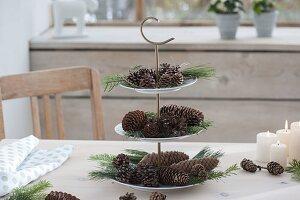 Etagere mit Zapfen, Zweigen von Larix (Lärche), Pinus (Kiefer) und Abies
