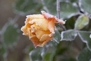 Rosenblüte mit Rauhreifrand - Rosa 'Tequila' (Rose) mit Frost