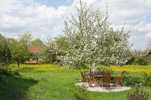 Blühender Apfelbaum (Malus) an kleiner Kiesterrasse in Wiese, Sitzgruppe unterm Baum
