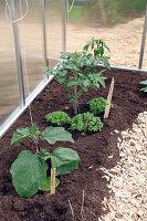 Kleines Gewächshaus bepflanzt mit Aubergine (Solanum melongena), Tomate (Lycopersicon), Basilikum (Ocimum basilicum)