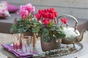 Cyclamen persicum (Alpenveilchen) mit Teekanne