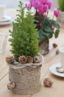 Winterliche Tischdeko mit Cyclamen (Alpenveilchen) und Chamaecyparis