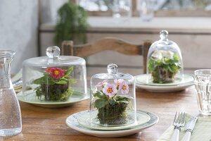 Tischdeko mit Primeln unter Glasglocken