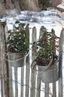 Zink-Töpfe mit Ilex aquifolium (Stechpalme) am Gartenzaun angebunden