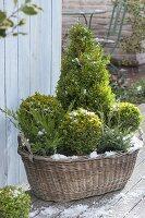 Alter Wäschekorb winterfest bepflanzt mit Buxus (Buchs) als Kugeln