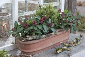 Terracotta - Kasten mit Skimmia 'Rubella' (Blüten - Skimmie) und Pinus