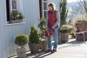 Terrasse mit Buxus (Buchs) Kugel und Kegel, Pinus (Kiefer) und Korbkasten