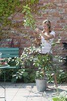Frau erntet Sauerkirschen 'Schattenmorelle'