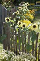 Helianthus 'Garden Statement' (Sonnenblumen)