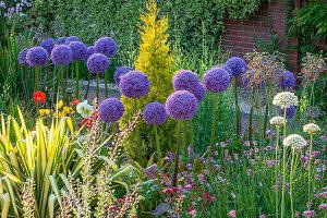 RHS Garden, WISLEY, Surrey: ALLIUM GLOBEMASTER GROWING IN GRAVEL with ICELAND POPPIES - Purple, ALLIUM, Bulb, ONION