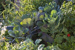 Rosenkohl (Brassica) auf dem Huegelbeet
