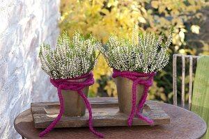 Calluna vulgaris Garden Girls 'Alisa' (Knospenheide) mit pinker Wollschnur