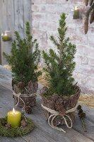 Ländliche Terrasse mit Picea glauca 'Conica' (Zuckerhutfichten) in Rinde