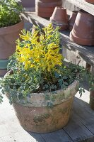 Corydalis wilsonii (Lerchensporn)
